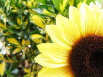 Decorative sunflower Royalty Free Stock Images