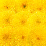 Decorative sunflower Stock Photos