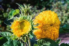 Decorative sunflower blossoms. Close up royalty free stock images