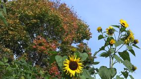 Decorative sunflower flower blooms and colorful maple tree leaves. 4K. Decorative sunflower flower blooms and colorful maple tree leaves in background of blue stock video footage