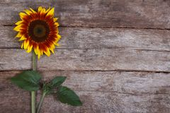 Decorative sunflower flower with a bud on the old wooden Royalty Free Stock Photography