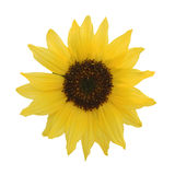 Decorative sunflower isolated on white Stock Photography