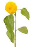 Decorative sunflower Stock Photo