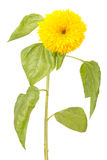 Decorative sunflower Royalty Free Stock Photo