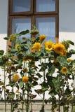 Decorative sunflower Royalty Free Stock Image