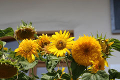 Decorative sunflower Stock Photography