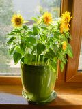 Decorative sunflowers in a flower pot on a window sill. Decorative sunflowers growing in a dreen flower pot on a wooden window sill royalty free stock photo