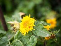 Decorative sunflowers. yellow royalty free stock photo
