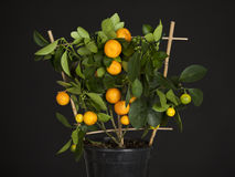 Decorative tangerine Stock Photos