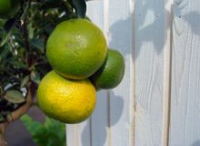 Decorative tangerines hang on a tree branch royalty free stock photos