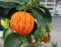 Decorative tangerines hang on a tree branch stock photo