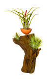 Decorative tillandsia houseplant Royalty Free Stock Photos