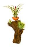 Decorative tillandsia houseplant Royalty Free Stock Photos