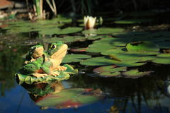 Decorative toad on a pond Royalty Free Stock Photo