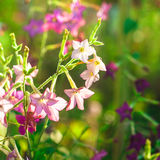 Decorative tobacco flowers Stock Images