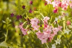 Decorative tobacco flowers Stock Photos