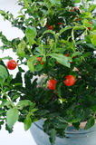 Decorative tomato plant Stock Images