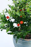 Decorative tomato plant - solanum Royalty Free Stock Images