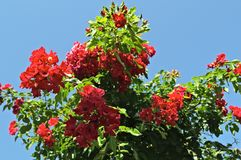 Decorative tree blooming with big red flowers Stock Photo