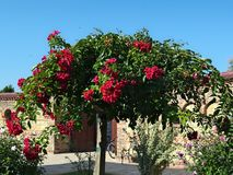 Decorative tree blooming with big red flowers Royalty Free Stock Photos
