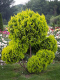 Decorative tree in Formal Garden Stock Photography
