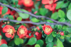 Decorative tree Japanese quince. On a green background Royalty Free Stock Photography