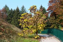Decorative tree with long thin cylindrical seed pods and green to yellow and brown leaves planted in local park surrounded with. Decorative tree with long thin stock photography