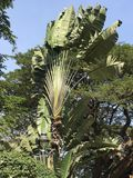 A decorative tree looks like banana royalty free stock images