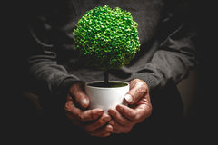 Decorative tree in old hands Stock Photo