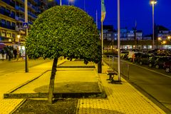 Decorative tree pruned a round shape, natural city decorations, beginner tree shaping. A decorative tree pruned a round shape, natural city decorations, beginner royalty free stock images