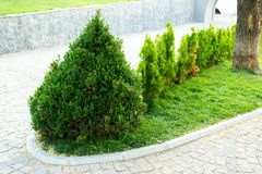 Decorative trees and bushes in the design of the flowerbeds. Of the landscape in the city royalty free stock image