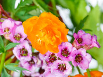 Decorative Trollius and bergenia flowers close up Stock Photos