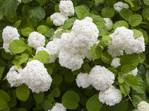 Decorative tsvety.gortenziya. White hydrangea flowers after the rain royalty free stock images