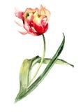 Decorative Tulip flower Stock Photos