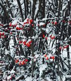 Bright red berry thorny bush covered with snow royalty free stock photo