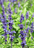 Decorative violet flowers among green leaves. Royalty Free Stock Photo