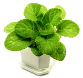 Decorative violets bush in white flowerpot isolated Royalty Free Stock Images
