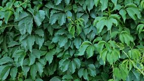 Decorative wall texture, of green natural leaves. Natural plants background. Use in design stock footage