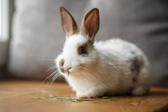 Free Decorative White And Black Rabbit On Wooden Window Sill Royalty Free Stock Images - 118707869