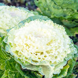 Decorative white cabbage Royalty Free Stock Photo