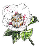 Decorative white Camellia japonica. Botanical illustration. Royalty Free Stock Photos