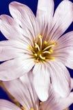 Decorative white cerastium flower Stock Photos