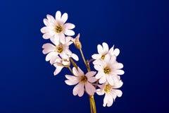 Decorative white cerastium flower Royalty Free Stock Photos