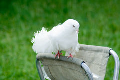 Decorative white pigeon Stock Images