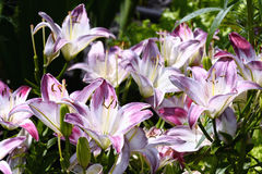 Decorative white and pink lily in the garden closeup Stock Image