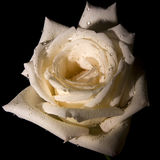 Decorative white rose. Close up of decorative white rose with black background Stock Images