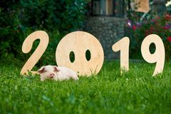 Decorative wooden numerals of new 2019 year against cute piggy on green grass. Decorative wooden numerals of new 2019 year. Cute piggy lying on green grass near stock images