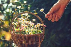 Free Decoratively Arranged Floral Spring Basket With Daisy Flowers On A Table In The Garden Royalty Free Stock Photo - 215161895