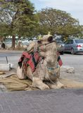 Decoratively decorated camel with a  blanket resting lying waiting for visitors. Decoratively decorated camel with a blanket resting lying waiting for visitors Royalty Free Stock Photos