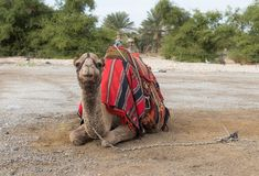 Decoratively decorated camel with a  blanket resting lying waiting for visitors. Decoratively decorated camel with a blanket resting lying waiting for visitors Royalty Free Stock Image